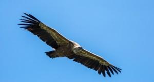 Vautour fauve en vol sur fond de ciel bleu