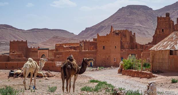 Voyage photo au Maroc - Dromadaires