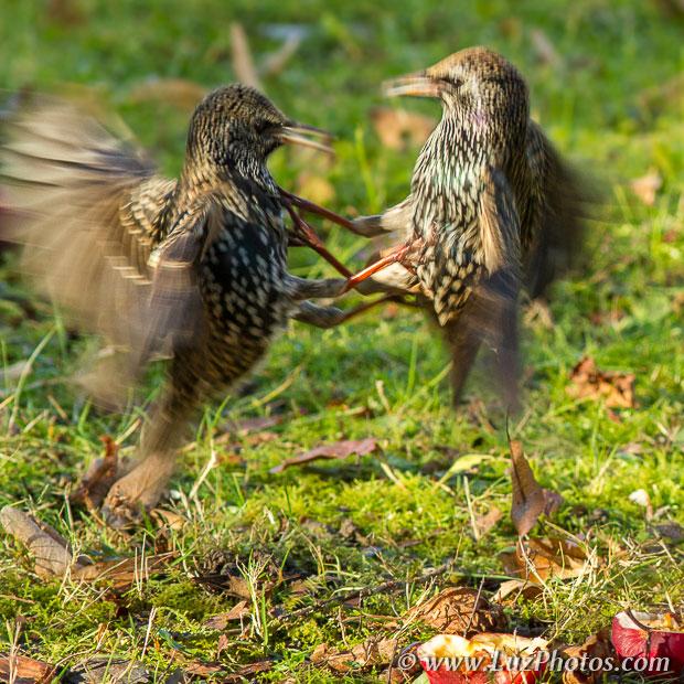 Le flou de mouvement : combat d'étourneaux (les oiseaux sont reconnaissables mais flous)