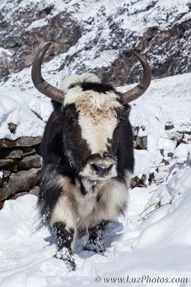Photo en hiver - se protéger du froid : photo d'un yak au Népal avec sa fourrure épaisse