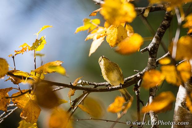Stage photo nature sur le thème de l'automne dans les Pyrénées : Oiseau sur une branche couverte de feuilles d'automne
